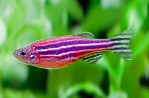 Zebrafish Are Making Waves for Limb Regeneration Research