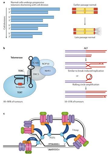 Telomeres and Telomerase: Three Decades of Progress
